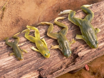 The most realistic frog lures on the planet