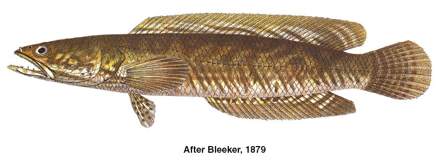 Haruan – Striped Snakehead, Common Snakehead, Channa Striata