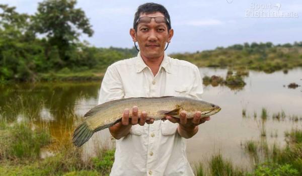 haruan-striped-snakehead