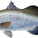 Barramundi_LatesCalcarifer