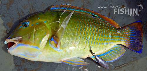 Black-spot Tuskfish (Wrasse)