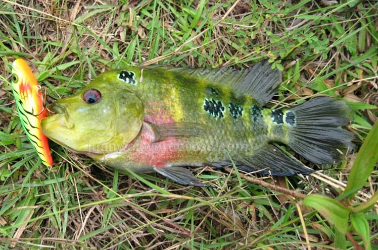 Flowerhorn Cichlid: The money fish