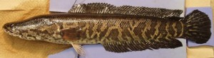 Northern_snakehead channa_argus