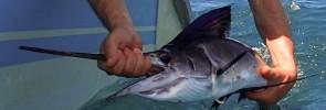 juvenile-sailfish-Kuala-Rompin-stu