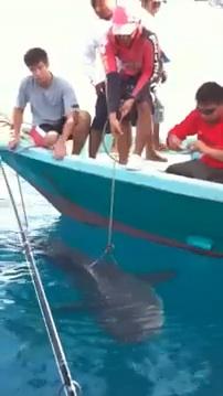 shark_rompin