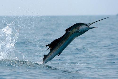 Chris-Mitchell-photography-kualarompin-sailfish