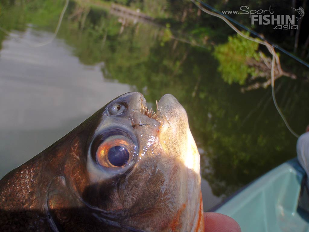 pacu-with-pellet-fly-in-mouth-eak