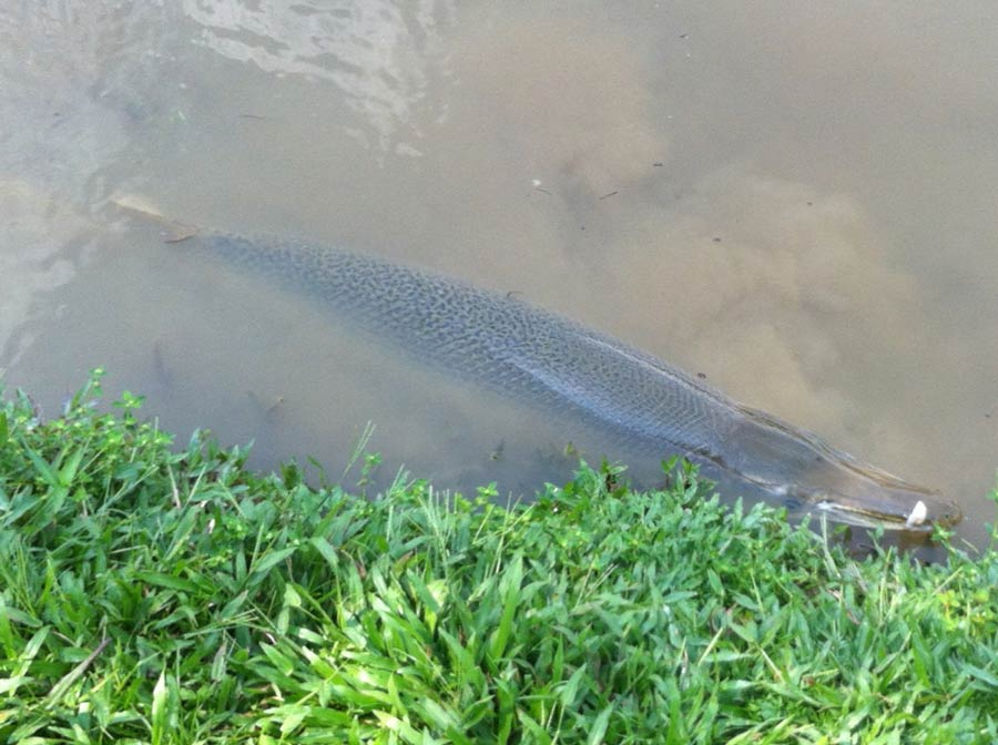 Alligator Gar Caught in Johor Pond