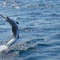 rompin-sailfish-tailwalk