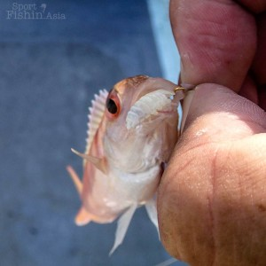 fish-Cymothoa-exigua-parasite-Rompin-sailfish-fishing-charter_130723_4931