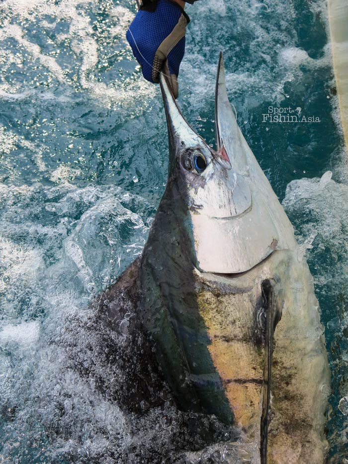 rompin-sailfish-upclose-130722_5482