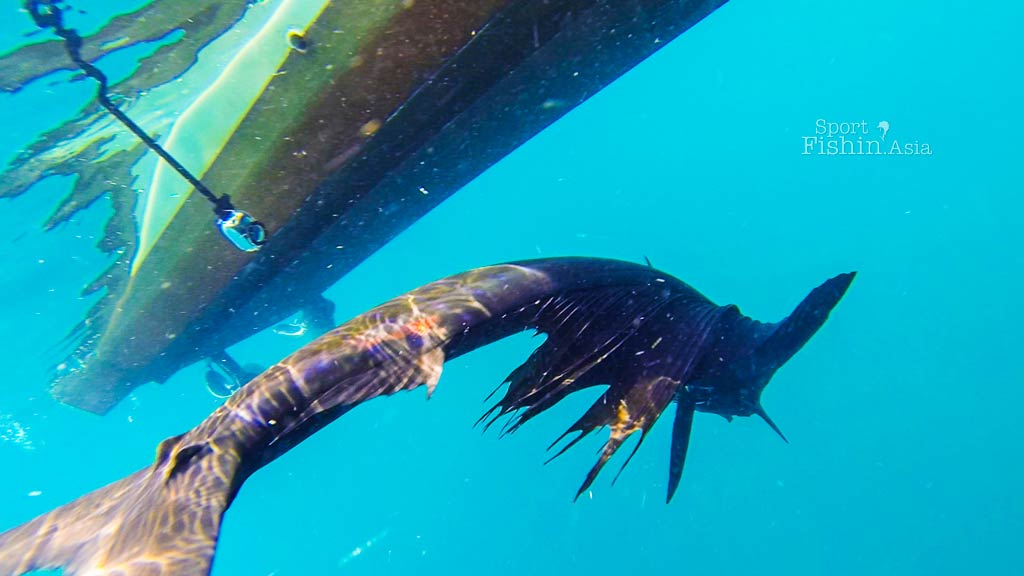 kuala-rompin-sailfish-dives-under-boat-sport-fishing-asia