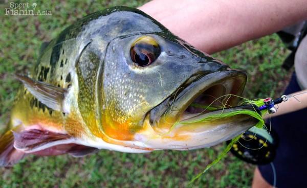 peacock-bass-fishing-malaysia-peacock-bass-fishing-malaysia-2013-10-13-08.49_10