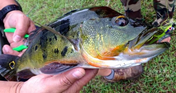 peacock-bass-fishing-malaysia-peacock-bass-fishing-malaysia-2013-10-13-08.56_09