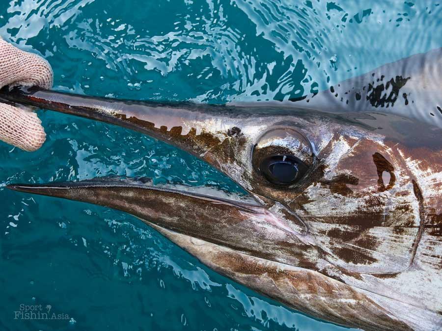 Kuala-Rompin-sailfish-upclose-130722_5489