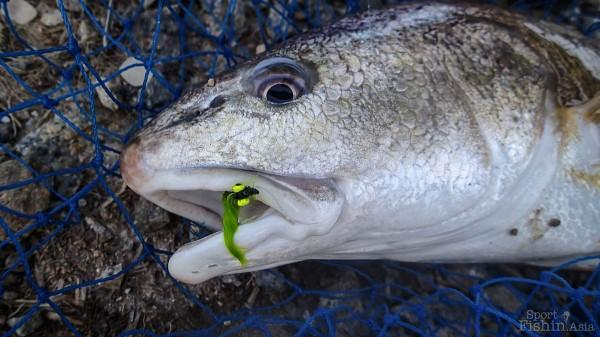 Redfish-fly-fishing-malaysia_140117_7737