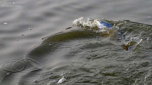 Redfish-fly-fishing-malaysia_140117_7828
