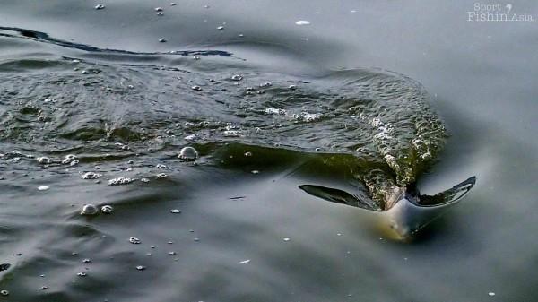 Redfish-fly-fishing-malaysia_140117_7841