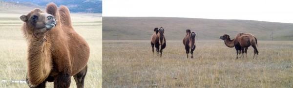 camels-nomads-mongolia-fishing_130919_6747