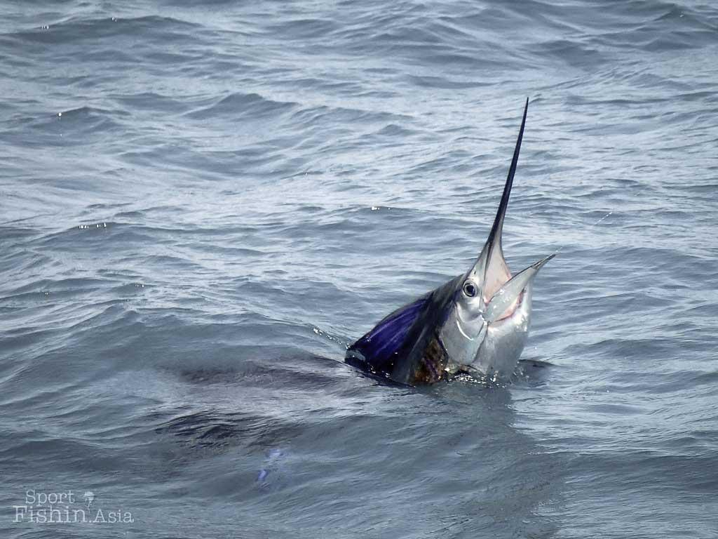 Indo-pacific sailfish in Kuala Rompin