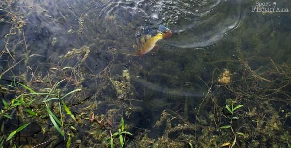 peacock-bass-fly-fishing-malaysia_131029_7155