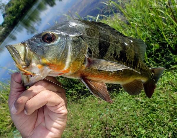 peacock-bass-fly-fishing-malaysia_131029_7204