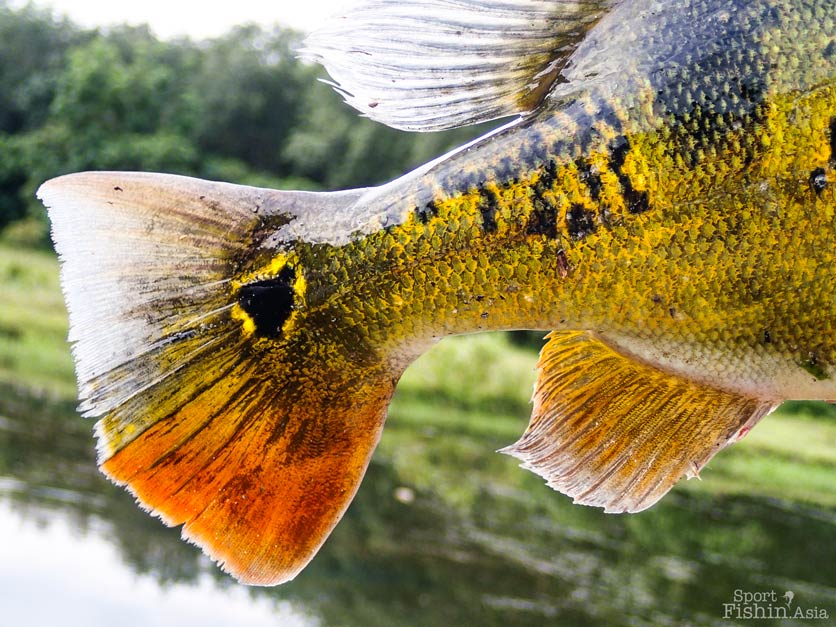 peacock-bass-tail-fly-fishing-malaysia