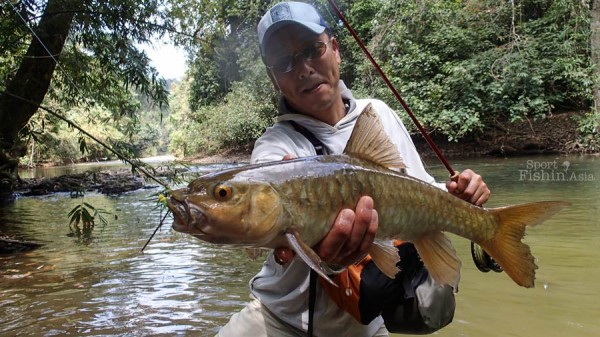 Colours may vary somewhat between fish, a Thai golden mahseer.