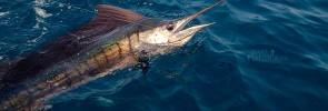 Kuala-Rompin-sailfish-121004_5009