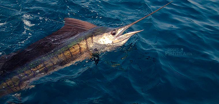 How Rough is the Bill of a Sailfish?