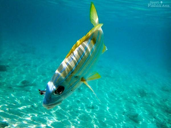 snapper-fly-fishing-maldives