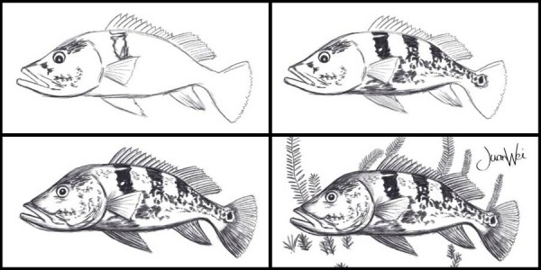 Drawing sequence of peacock bass
