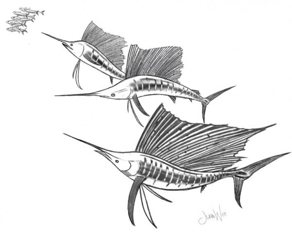 This is one of the sailfish drawing I made meant for my own sportfishinasia t-shirt coming up soon. All guests fishing with us at Kuala Rompin will get one. The design will be different from the PENN version and looking very exciting.