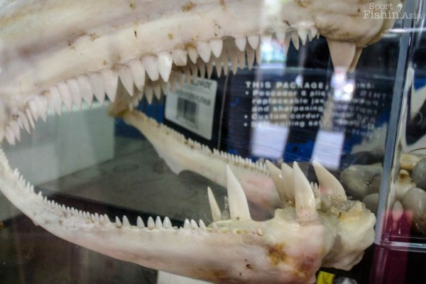 Guess what fish has dentures like these?