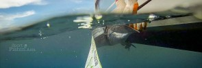 Kuala-Rompin-sailfish-measuring-length-weight-release-ruler-