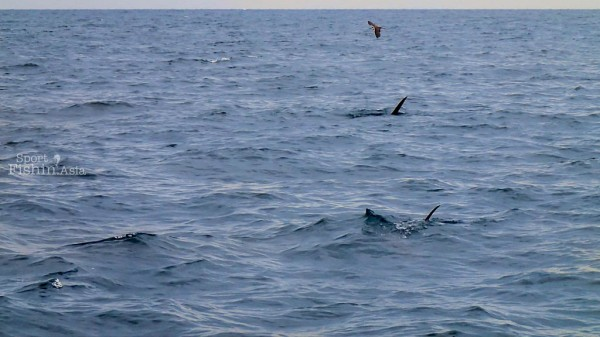 Gang of marauding sailfish harassing bait and chaperoned by opportunist birds that dives in for an easy meal every chance they get