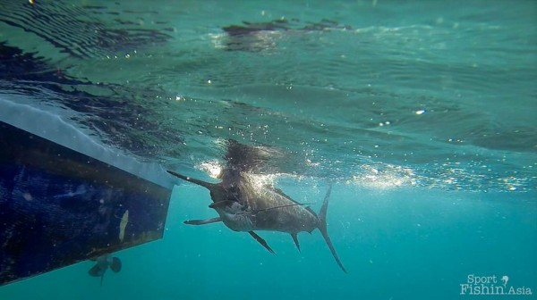 I have seen anglers take anything from 10 minutes to 45 minutes to bring in a sailfish. The average fight-time is 15 minutes.