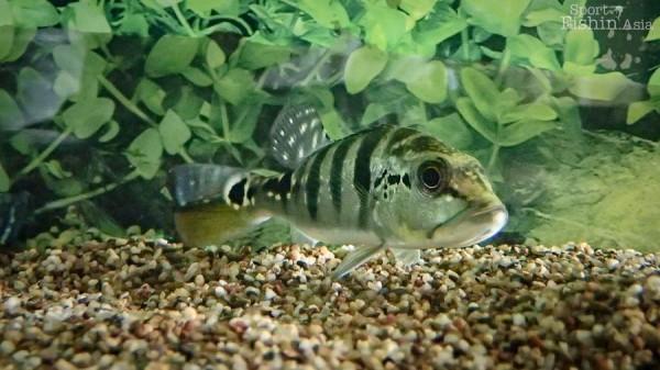 juvenile-baby-temensis-peacock-bass_141028_4040