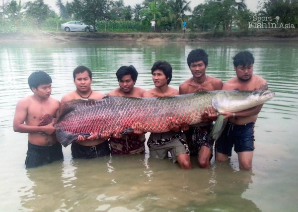 How big are the arapaima in AmazonBKK? Just look at the size of the head.