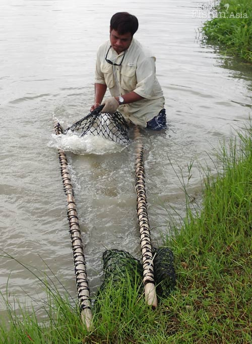 The arapaima being revived in the stretcher before release