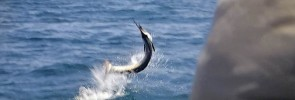sailfish-Kuala-Rompin-jump