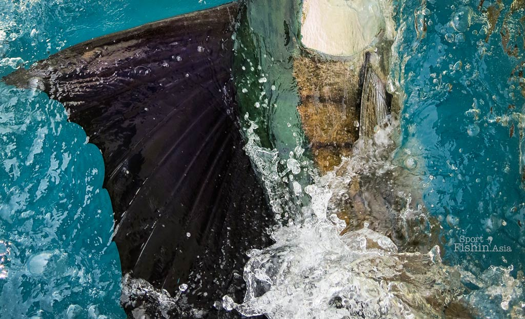 rompin-sailfish-closeup