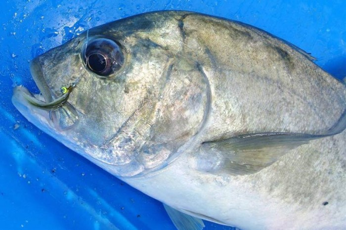 The roaming giant trevally are tempted with small flies