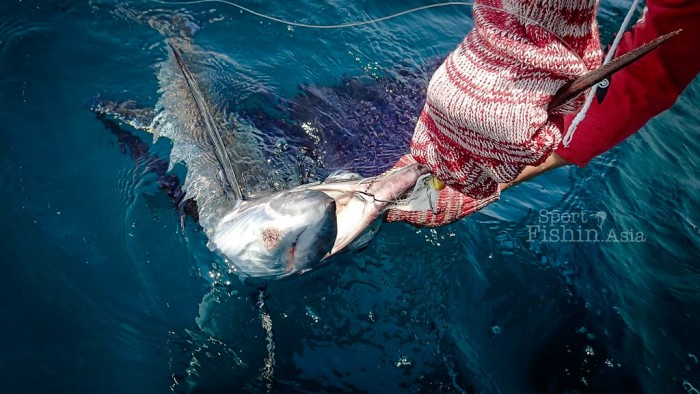 Not much soft spots in a billfish's mouth. Make sure you strip-strike hard.