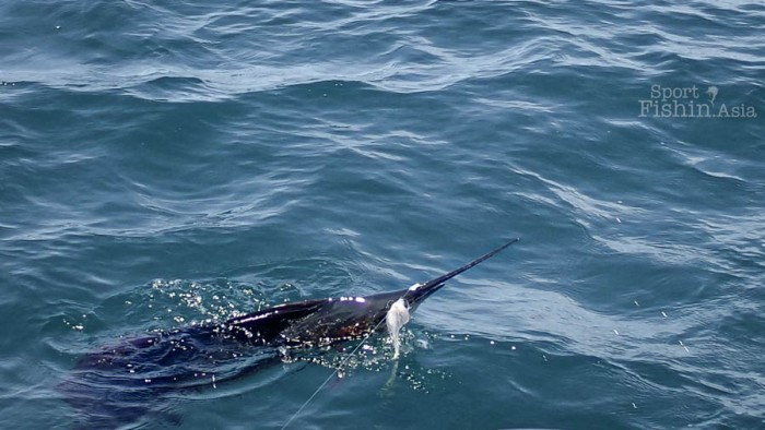 sailfish-kuala-rompin-fly-fishing_141031_4189