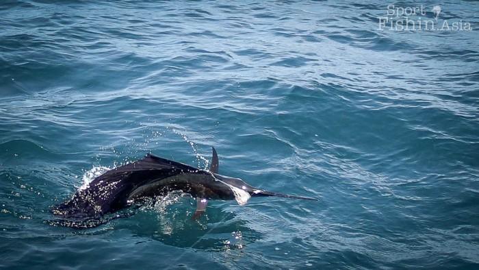 sailfish-kuala-rompin-fly-fishing_141031_4192