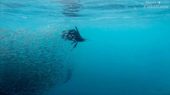 sailfish-baitball-achovies-rompin-bilis-