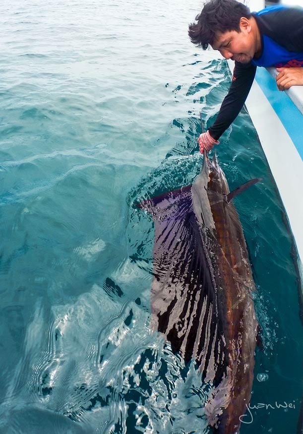 sailfish-rompin-ary-20150828-(1)