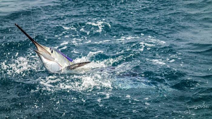 sailfish-rompin-ary_150827_2715