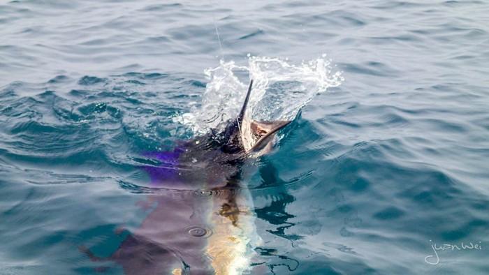 sailfish-rompin-ary_150827_2719